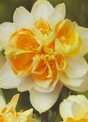 Нарцис Peach Cobbler S
