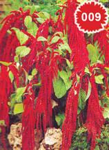 Амарантус висок червен