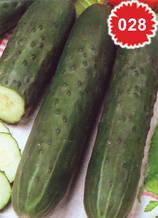 Краставица Бета Алфа - салатна