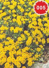 Алисум жълт