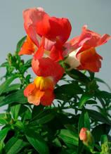 Snappy Orange Bicolor F1
