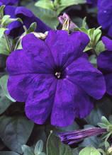 Lambada Blue  F1