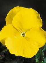 Cello Pure Yellow F1