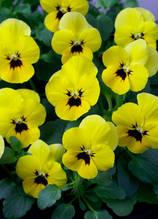 Corina Yellow With Blotch F1