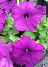 Mambo deep purple F1
