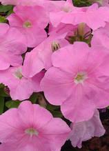 Mambo sweet pink F1