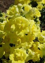 Twinny Yellow Shades f1