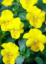 Corina Yellow F1