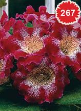 Глоксиния Tigrinum Red