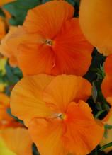 Cello Pure Deep Orange F1