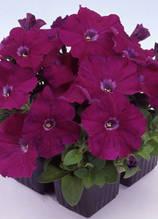 Mambo purple F1