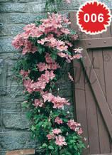 Клематис тъмно розов - Цена 8.80 лв./бр.