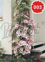 Клематис розов двуцветен - Цена 8.80 лв./бр.