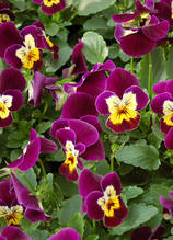 Corina Violet With Yellow Face F1