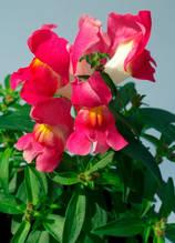 Snappy Rose Bicolor F1