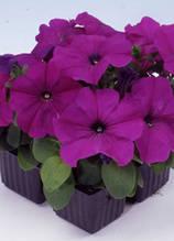 Mambo violet F1