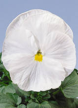 Cello Pure White F1