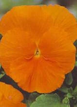 Trumpet Orange S1