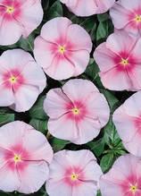 Heatwave Pink