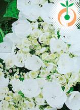 Хортензия Lacehead бяла - Цена 7.80 лв./бр.