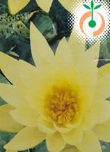 Водна лилия Chromаtella - Цена 11.50 лв./бр.