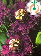 Пасифлора Incense - Цена 8.80 лв./бр.