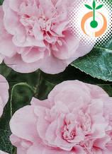 Камелия розова - Цена 9.50 лв./бр.
