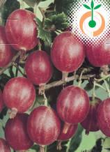 Цариградско грозде червено - Цена 7.80 лв./бр.