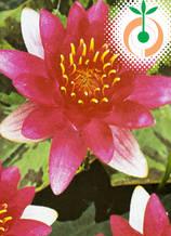 Водна лилия Laydekeri lilacea - Цена 11.50 лв./бр.