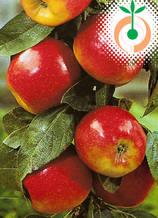Ябълка (Gala) Цена: 11.50 лв/бр