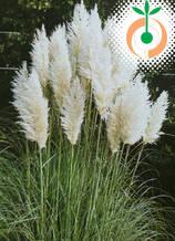 Пампаска трева бяла - Цена 8.80 лв./бр.