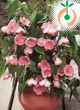 Абутилон розов - Цена 7.80 лв./бр.