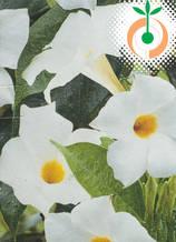Дипладения бяла  - Цена 8.80 лв./бр.