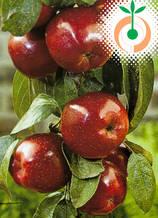 Ябълка (Braeburn) Цена: 11.50 лв/бр
