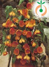 Абутилон оранжев - Цена 7.80 лв./бр.