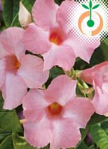Дипладения розова  - Цена 8.80 лв./бр.