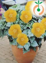 Хибискус оранжев - Цена 8.30 лв./бр.