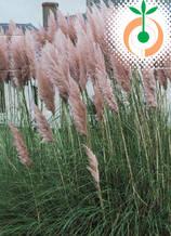 Пампаска трева розова - Цена 8.80 лв./бр.