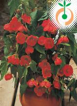 Абутилон червен - Цена 7.80 лв./бр.