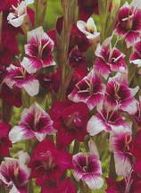 Гладиол Purple Rain Eco