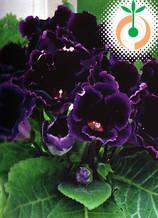 Глоксиния Violacea