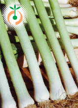 Праз - Allium porrum
