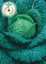 Савойско зеле - Brassica oleracea L. var. sabauda L.