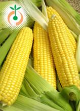 Захарна царевица - Zea mays sacharata