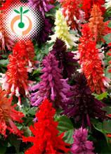 Салвия - Salvia splendens Reddy natural dwarf