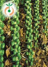 Брюкселско зеле - Brassica oleracea L. var. gemmifera