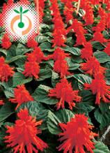 Салвия - Salvia splendens Red Alert